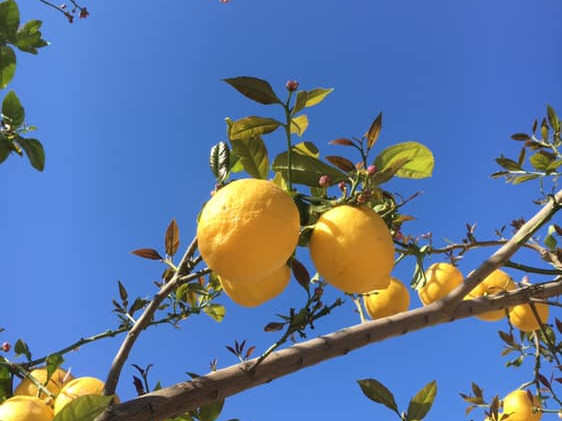 villa kalkan lemons.jpg