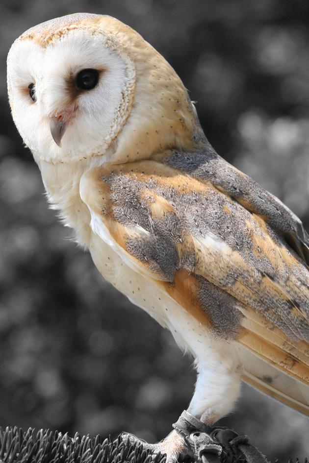barn owl bw