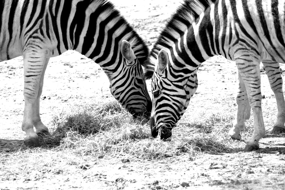 zebra high contrast