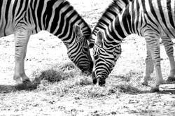 zebra high contrast