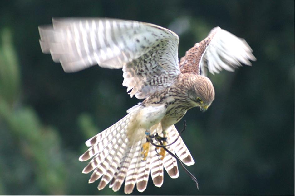 falcon hover