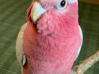 <鳥さん個別相談・飼い主さんの声3>春ちゃん・モモイロインコ|咬みつき改善etc