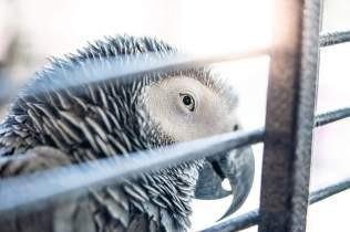 翻訳記事8:羽毛損傷行動の危険因子 by Pamela Clark