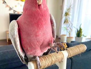 <鳥さん個別相談・飼い主さんの声6>じゃじゃまるちゃん・モモイロインコ|呼び鳴き改善、咬みつき改善