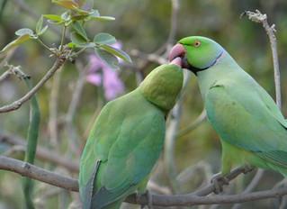 翻訳記事:ペアとしての結びつきを避ける:鳥との社会的関係 by Pamela Clark