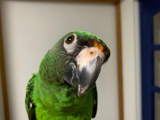 <鳥さん個別相談・飼い主さんの声4>ルイちゃん・ズアカハネナガインコ|咬み癖改善etc
