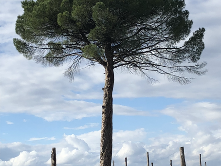 Der Taurasi mit der Pinie - Azienda Agricola Fiorentino