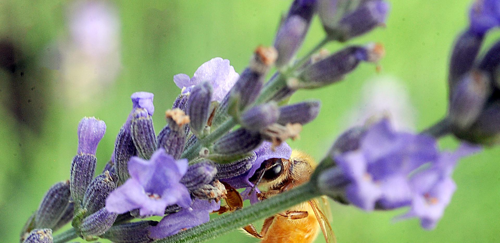 1015047964 MA_MW_lavendercropped.jpg