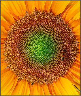 Sunflower by Ian Byers.jpg