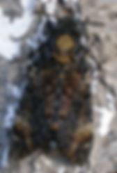 Acherontia_atropos_imago.jpg
