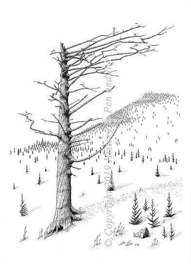 Wind Swept Fir Tree