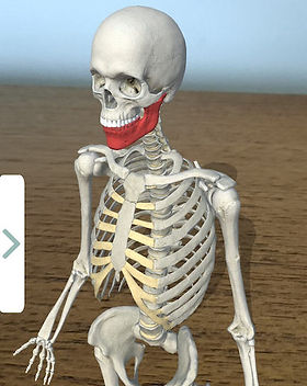 skeleton_manidible.jpg