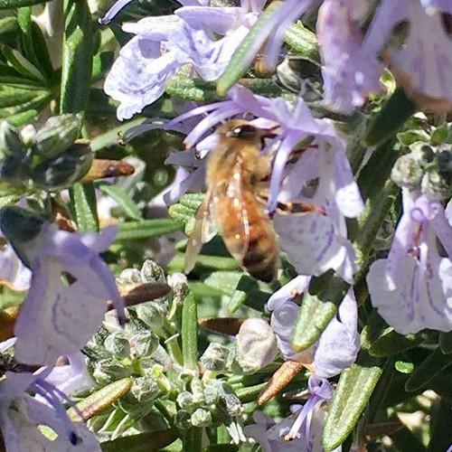 #honeybees