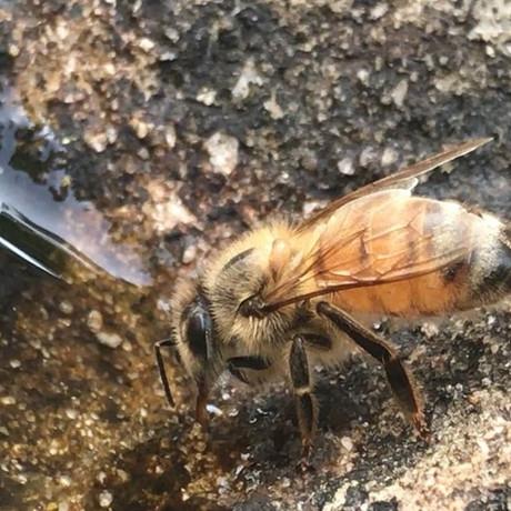 #honeybee #wateringhole #savethebees #wa