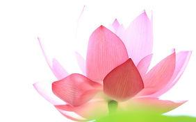 lotuswallpaperHero.jpg