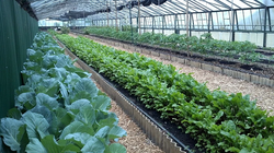 Rows of Greens in Greenhouse