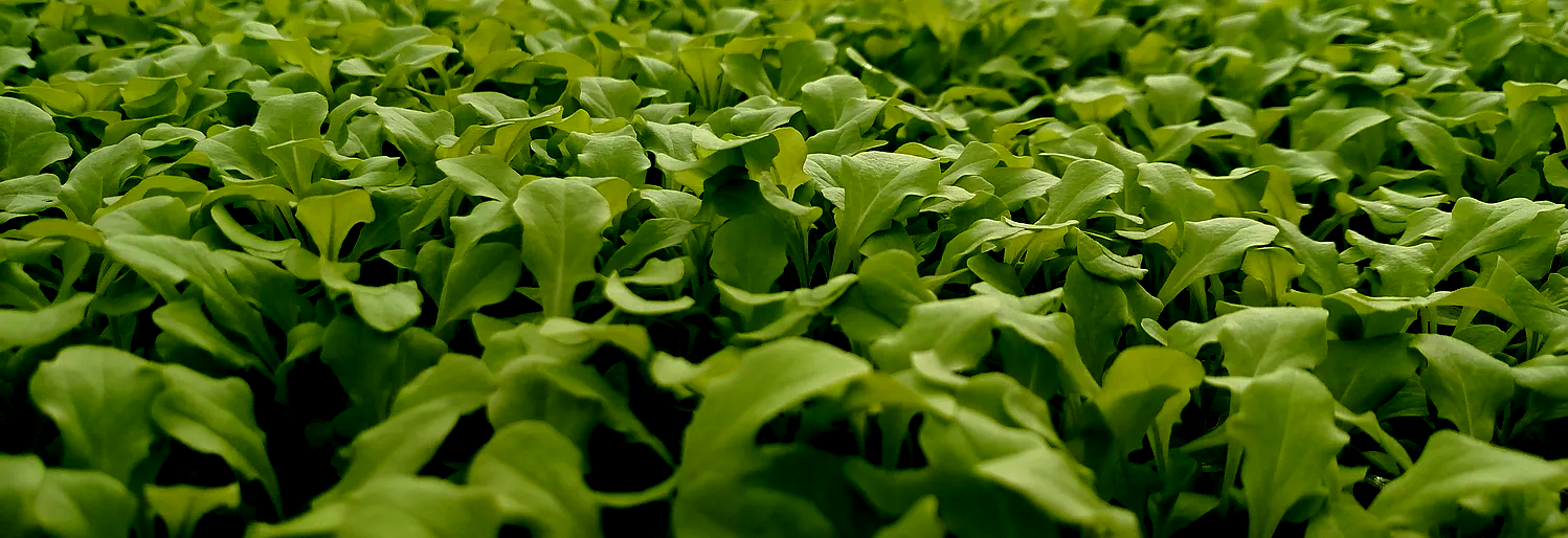 Micro-Mizuna on Micro-Green Table
