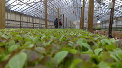 Lettuce in the Micro-Green Rack