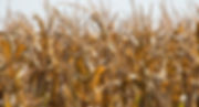gold corn.jpg