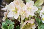 fleurs_d'hiver-1-hellébore.jpg
