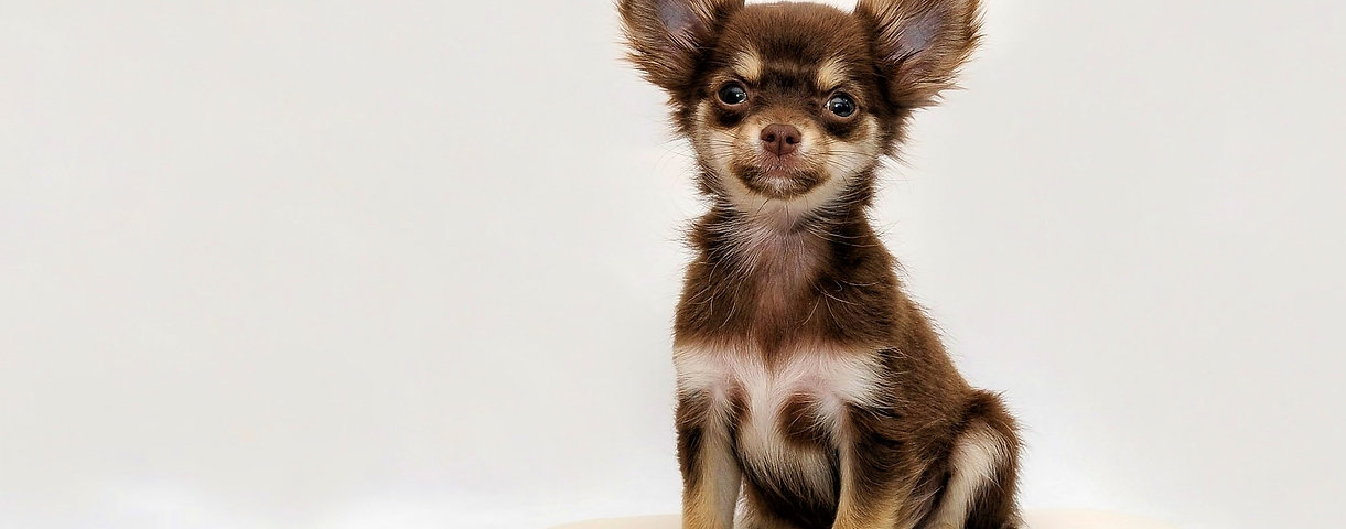 Kandid k9 brown chihuahua pup dog traine