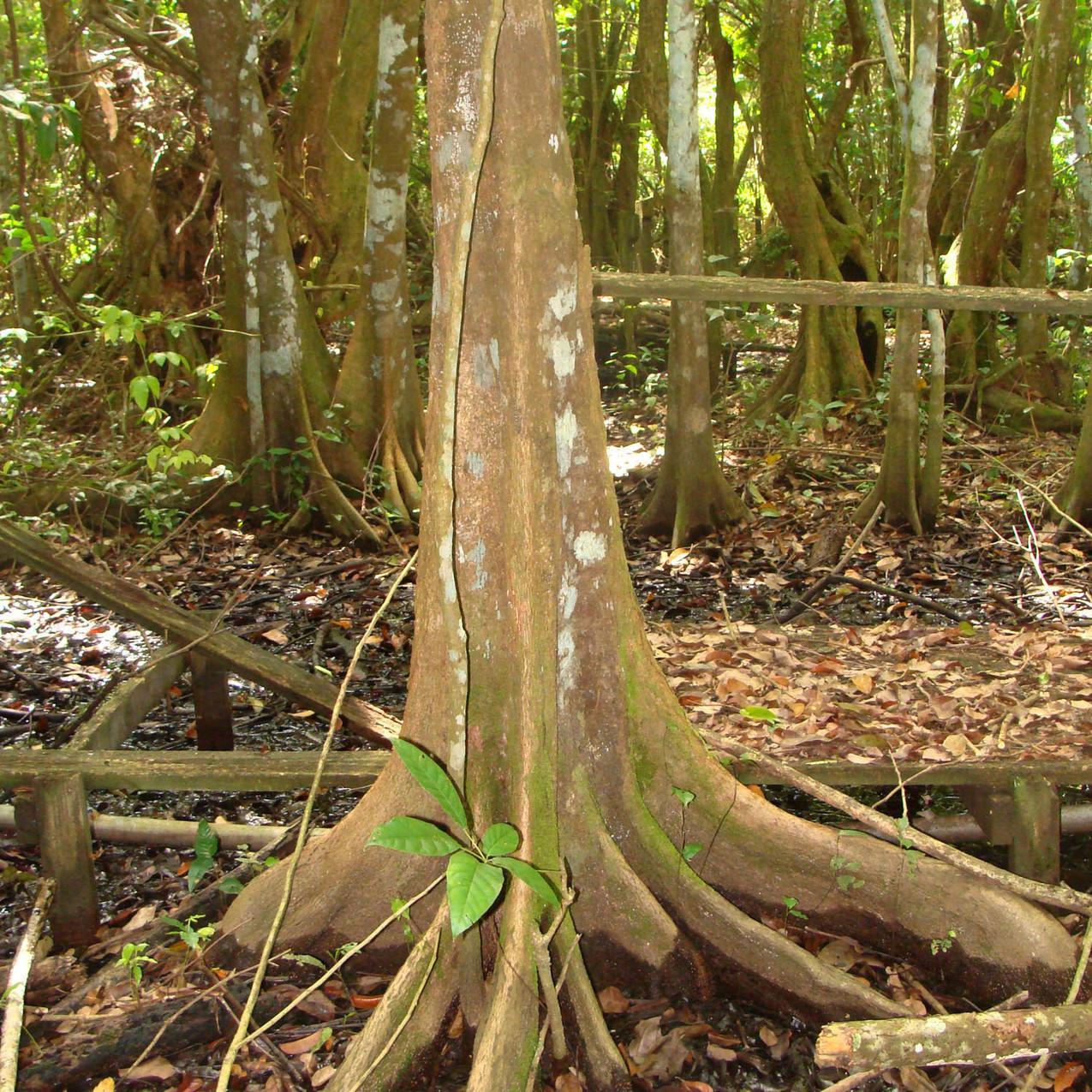 Bosque de Pterocarpus 8