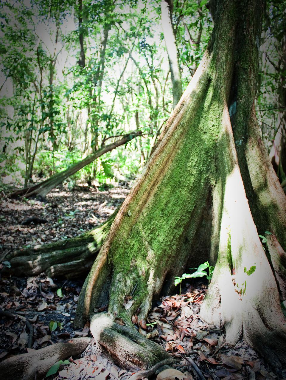 Bosque de Pterocarpus 4