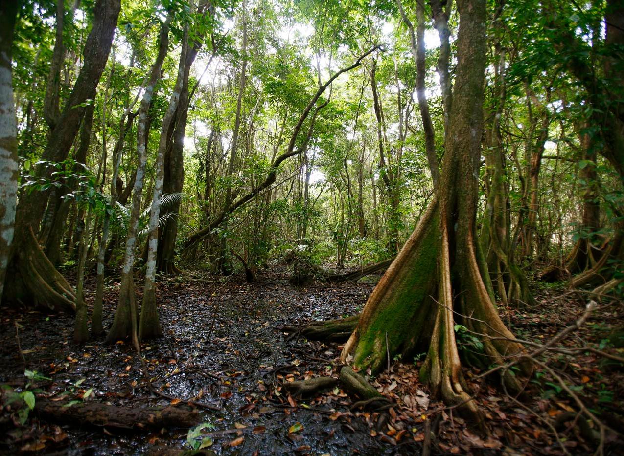 Bosque de Pterocarpus 2