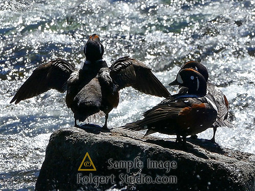 Harlequin Duck Trio