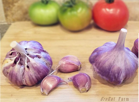 Extraordinary Garlic for Fall Planting