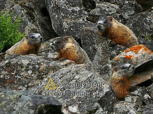 Marmot Four