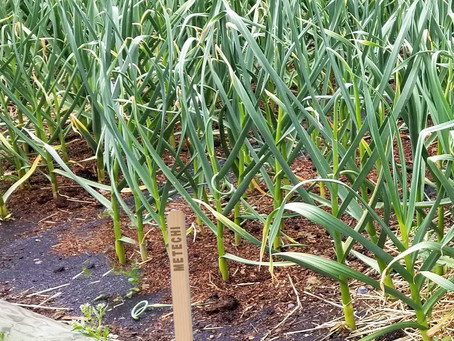 Why Grow Your Own Garlic?