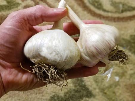 Secrets for Growing Big Garlic!