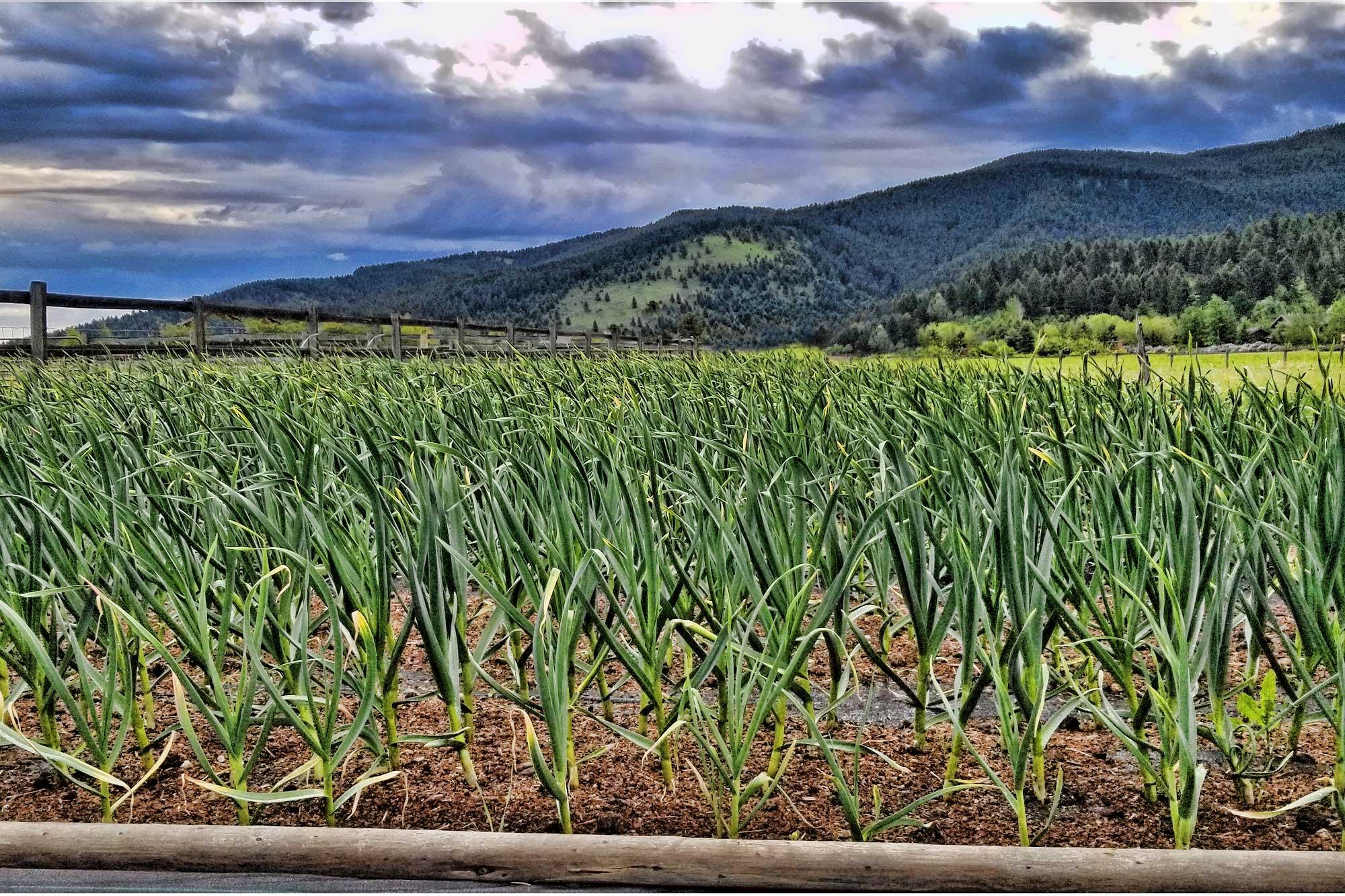 GroEat Garlic Farm Bozeman Montana