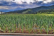 garlic seeds organic, garlic seed for planting in fall, garlic seed from scape, garlic seed edible, eating garlic,free,for sale, garlic seed california, garlic seed montana, garlic seed idaho, garlic seed texas, garlic seed wisconsin, garlic seed texas, garlic seed new york