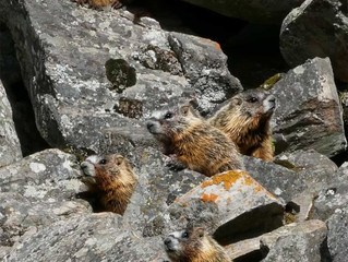 Young Yellow Bellied Marmots