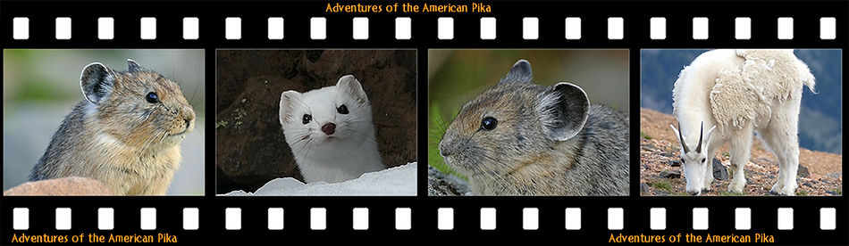 American Pika Film in Wild Places