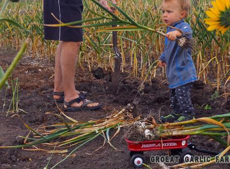 When Should I Harvest Garlic?