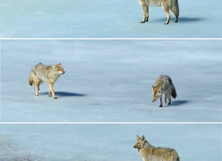 Coyotes on Ice