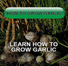 Grow Garlic Plant Garlic Fall Mulch Autum Learn Video Pesto Scape How to Grow Garlic Zone