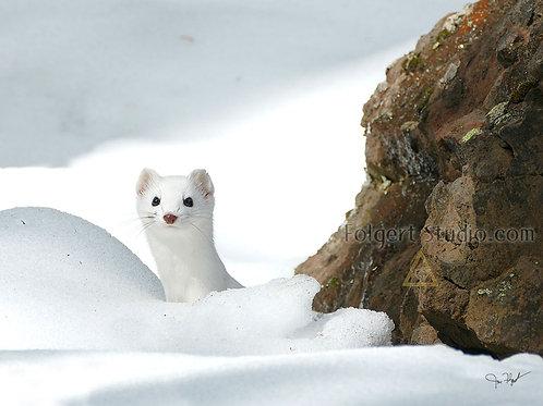 Weasel Winter