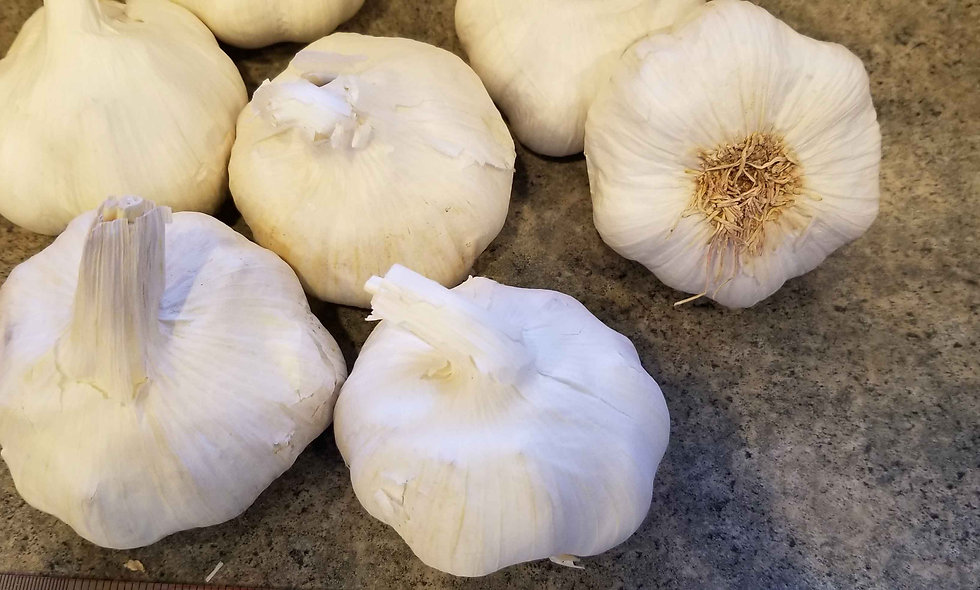 HUGE Softneck Garlic