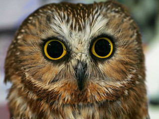 Who's Who.  Northern Saw-whet Owl