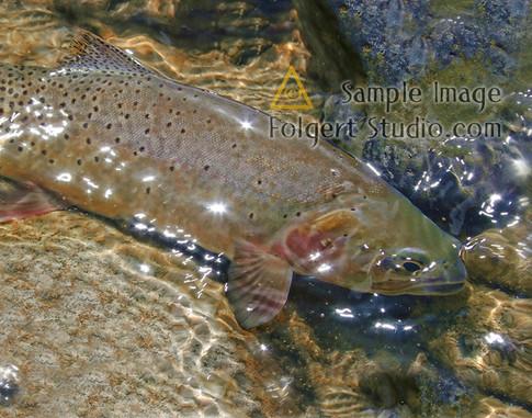 Cutthroat Trout Sparkle