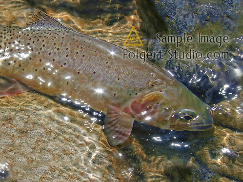 Cutthroat Trout Sparkle