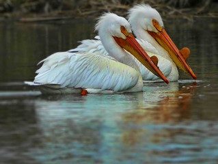 American White Pelicans. Graceful in Water. Majestic in the Air.
