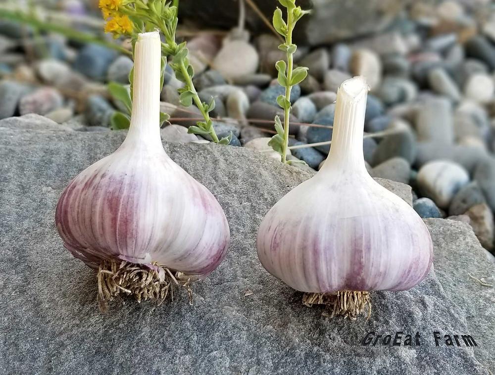 garlic bulbs for sale,turban garlic,where to buy shallots for planting,burgundy creole garlic,creole garlic bulbs for sale,where to buy garlic cloves for planting,growing japanese garlic,french shallots for sale,growing rocambole garlic,lorz italian garlic bulbs,purple stripe garlic varieties,french red shallot sets,glen large garlic for sale,korean mountain garlic,wholesale garlic bulbs,german stiff neck garlic,organic purple garlic for sale,garlic farm products,garlic by the pound,idaho silver garlic,where to buy garlic leaves,garlic online purchase,transylvanian garlic online,transylvanian garlic,garlic for growing,garlic cloves for sale,where to buy russet burbank potatoes,garlic wholesale suppliers,where to buy american garlic,mad river garlic,where to buy elephant garlic,green garlic bulbs,susanville garlic,garlic how to plant,gourmet garlic bulbs for sale,organic asparagus plants,german porcelain garlic,garlic plants for sale near me,specialty garlic,cuban purple garlic,organic heirloom asparagus crowns,where to buy purple garlic,georgia fire garlic,spanish roja,iowa garlic growers,garlic online shopping,mexican purple garlic,heritage garlic bulbs,rose de lautrec,ron l engeland,where to buy hardneck garlic,california early garlic,how much is garlic per pound,garlic farms in california,soft neck garlic varieties,moroccan creole garlic,italian red garlic,florida garlic growers,garlic sizing chart,thai fire garlic,gourmet garlic varieties,garlic cloves bulk,jersey knight asparagus crowns for sale,organic garlic price per pound,japan garlic,garlic bulk price,how do i grow garlic,sulmona red garlic,varieties of garlic list,types of turban,growing garlic when to harvest,how does a garlic grow,the 10 pound plant book,garlic scapes wiki,storing garlic for planting,small farm books,when to plant garlic in new jersey,how to grow french shallots,best tasting artichoke variety,how to produce garlic,garlic growing in california,when to plant garlic in ohio,how to grow gar