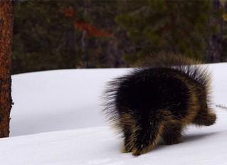 Porcupine on Snow (Yellowstone N.P.)