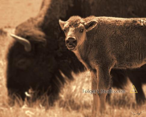 Bison Calf in June