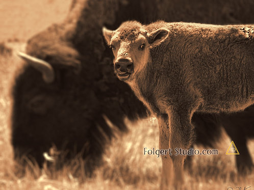 Bison Calf in Spring